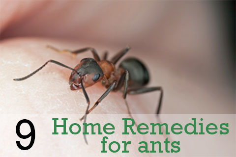 Home remedies for ants in kitchen